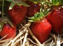 erdbeeren-pfluecken-muenchen-bb