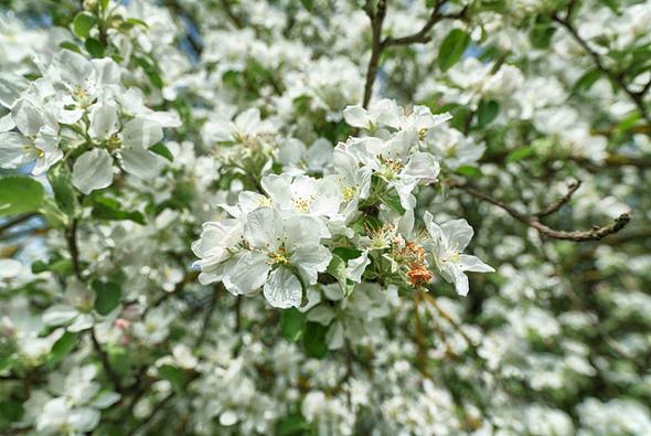 Frühlingsblüten.jpg