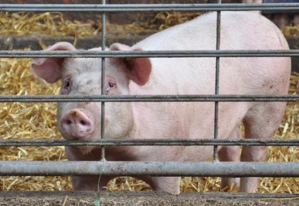 Dieses konventionell gehaltene Schwein sieht unglücklich aus. Trauen Sie lieber nicht der Bildunterschrift, informieren Sie sich selbst. (Foto: Konstanze Staud)