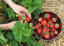 Erdbeerfeld Muenchen