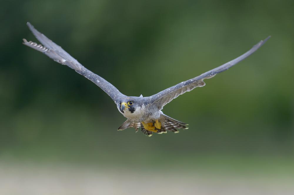 Wanderfalke, Falco peregrinus, Peregrine falcon